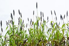 Sorghum in the white sky.  Stock Images