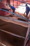 Sorghum wird von einem Arbeiter von einem LKW zu einem Silo entleert Lizenzfreie Stockfotografie