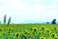 Sorghumbaard met de Gele Achtergrond van Zonnebloemgebieden Stock Fotografie