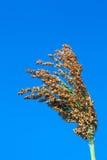 Sorgo bicolore Immagine Stock