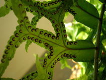 Sori of fishtail fern, Thailand Royalty Free Stock Image