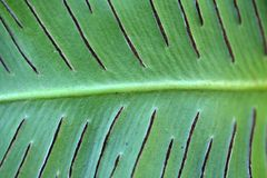 Sori of a harts-tongue fern Royalty Free Stock Images