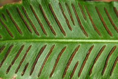 Sori of a harts-tongue fern Royalty Free Stock Photography