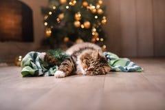 Soriano e gatto felice Stagione 2017, nuovo anno di Natale Fotografie Stock