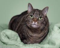 Soriano grigio grasso sulla coperta verde Fotografia Stock Libera da Diritti