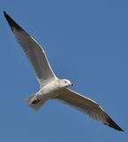 The soring seagull. This seagull was one of many that flew over me while walk by the river royalty free stock photo