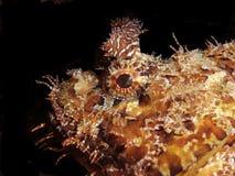 sorpion ψαριών Στοκ Εικόνες