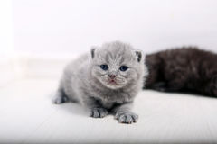 Sorprender el gatito nuevamente llevado Fotos de archivo libres de regalías