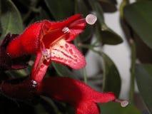 Sorprendiendo florece - una flor roja extraña, hermosa crecida en casa fotografía de archivo libre de regalías