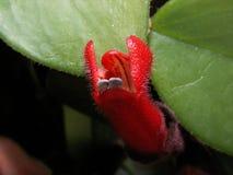 Sorprendiendo florece - una flor roja extraña, hermosa crecida en casa imágenes de archivo libres de regalías