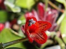 Sorprendiendo florece - una flor roja extraña, hermosa crecida en casa imagen de archivo libre de regalías
