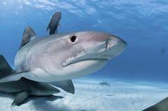 Sorpresa del tiburón Imagen de archivo libre de regalías