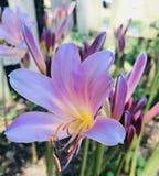 Sorpresa rosada Lily Up Close fotografía de archivo