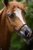 Sorrel αραβικό άλογο Στοκ φωτογραφία με δικαίωμα ελεύθερης χρήσης