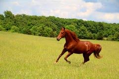 Sorrel τρέξιμο αλόγων Στοκ εικόνες με δικαίωμα ελεύθερης χρήσης
