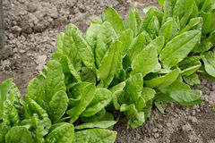sorrel φυτών Στοκ φωτογραφία με δικαίωμα ελεύθερης χρήσης