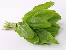 Sorrel. Broadleaf sorrel ingredient for cooking Stock Photography