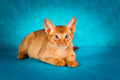 Sorrel abyssinian cat on dark green background.  Royalty Free Stock Photo