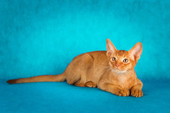 Sorrel abyssinian cat on dark green background.  Royalty Free Stock Image