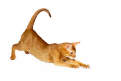 Sorrel abyssinian cat. Playing on white background stock photo