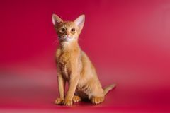 Sorrel abyssinian kitten Royalty Free Stock Images