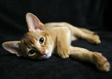 Sorrel Abyssinian portrait Stock Photos