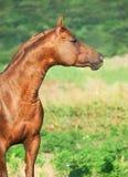Sorrel  arabian horse at freedom. Sorrel arabian  horse at freedom. Outdoor Royalty Free Stock Images