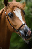 Sorrel arabian horse. Sorrel arabian stallion, detail of horse head Royalty Free Stock Photo