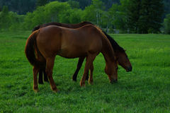 Sorrel and bay Tennessee Walker Mare. S grazing in a Montana pasture in the early summer royalty free stock photos
