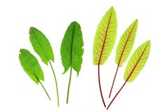 Sorrel and blood sorrel Royalty Free Stock Images
