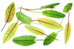 Sorrel and blood sorrel. Leaves of sorrel (Rumex acetosa) and blood sorrel (Rumex sanguineus), isolated in front of a white background Royalty Free Stock Photo