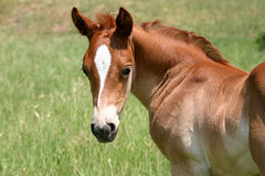 Sorrel Colt Stock Photos