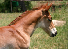 Sorrel Colt Royalty Free Stock Photo