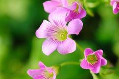 Sorrel da alfazema Foto de Stock Royalty Free