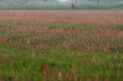 Sorrel field. A beautiful sorrel field in Twiske, the Netherlands Royalty Free Stock Photo