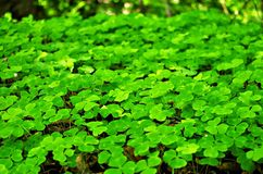 Sorrel field. In Estonian forest stock photos