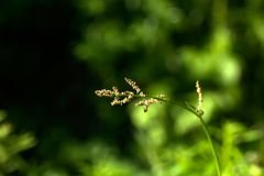 Rumex. Field plant. The sorrel flower growing on a summer meadow Royalty Free Stock Images