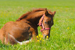 Sorrel foal. In green field Stock Image