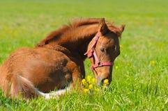 Sorrel foal Stock Image
