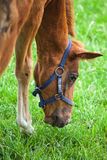 Sorrel foal eats grass Stock Photo