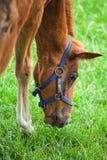 Sorrel foal eats grass. On the meadow Stock Photo
