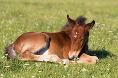 Sorrel foal on the floral meadow. Sorrel foal resting on the floral meadow Royalty Free Stock Photography
