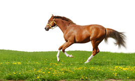 Sorrel foal gallops. Isolated on white Stock Photography
