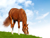 Sorrel foal - realistic photomontage. The sorrel foal - realistic photomontage Royalty Free Stock Image