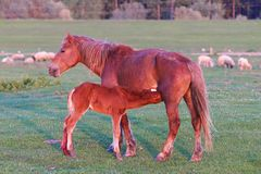 Sorrel foal is sucking mare. On the pasture royalty free stock photo