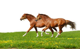 Sorrel foals gallop. Isolated on white Stock Image