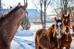 Sorrel foals with horses in frosty winter morning. Sorrel foals with horses in paddock in frosty winter morning royalty free stock images