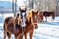 Sorrel foals with horses in frosty winter morning. Sorrel foals with horses in paddock in frosty winter morning stock photography