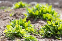 Sorrel in the garden on the nature.  Royalty Free Stock Image