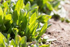 Sorrel in the garden on the nature Stock Photography